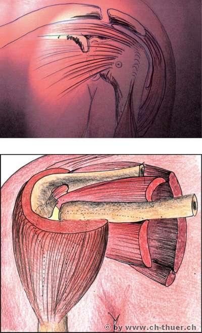 www.ch-thuer.ch -- Anatomie und Biomechanik der Schulter -- Tiefe ...